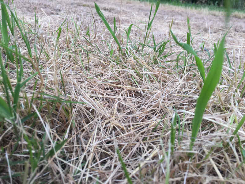 Dead or dormant grass with some green shoots
