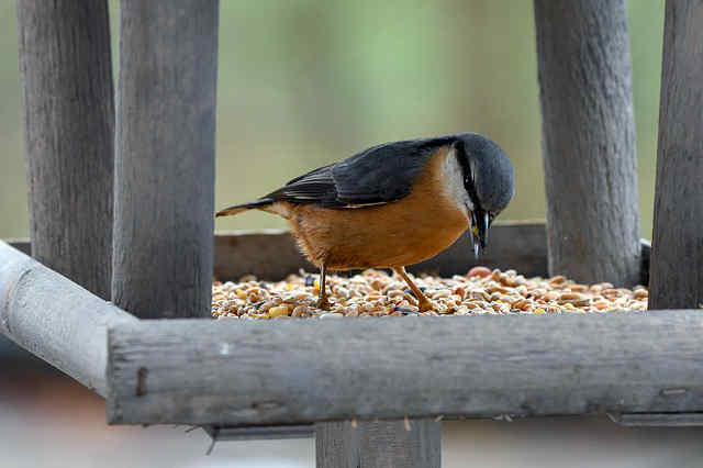 Nuthatch eating at a bird feeder